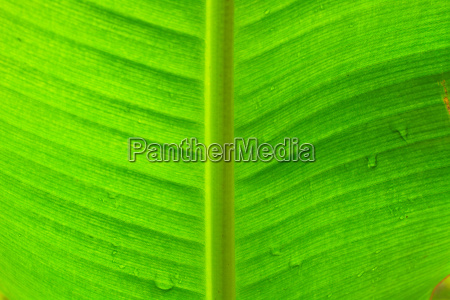 abstract background of banana leaf