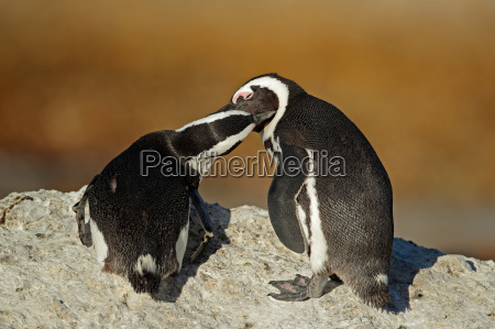 vogel afrika pinguin wildlife afrikanerin afrikaner