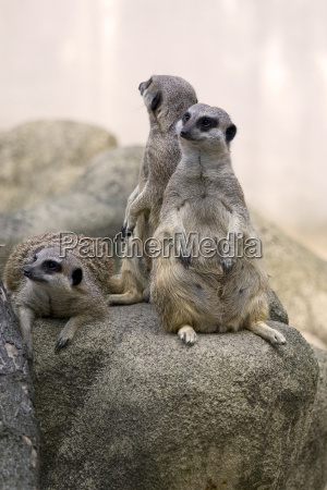 meerkats a family