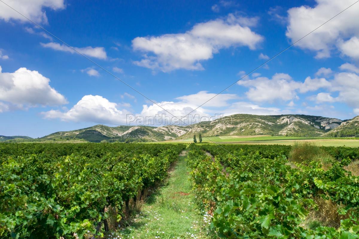 vineyard, in, provence - 12205124