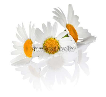 kamillenblüten - 12221492