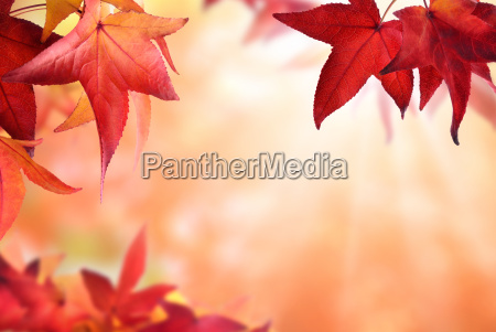 autumn background with red foliage