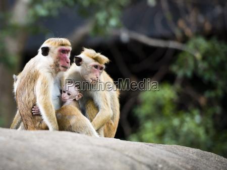 familie von rotem gesicht macaquefallhammer im