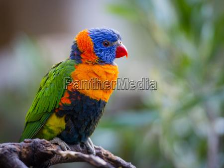 helle allfarblori papagei