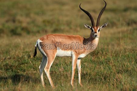 tier saeugetier afrika wildlife antilope gazelle