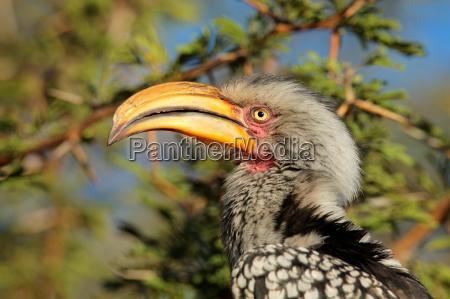 gelbschnabel hornvogel