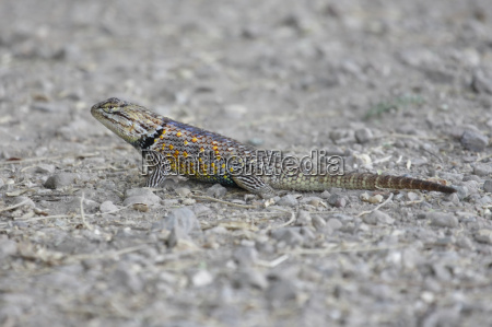 wueste oednis reptil wild eidechse wildlife