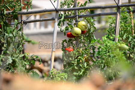 tomatenstaude in spanien