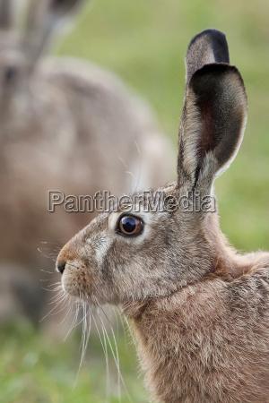 hare in the wild a profile