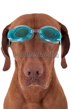 golden hund mit schwimmbrille