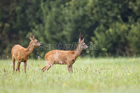 buck deer with roe deer in
