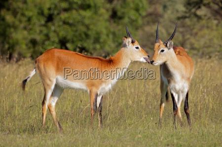 rote lechwe antilopen