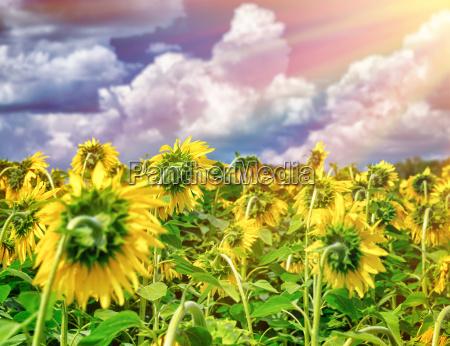 beautiful sunflowers field in sunset