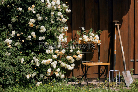 garden cottage with roses chair and