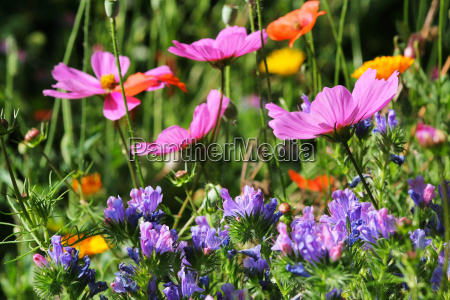 flowery meadow with cosmos and echium