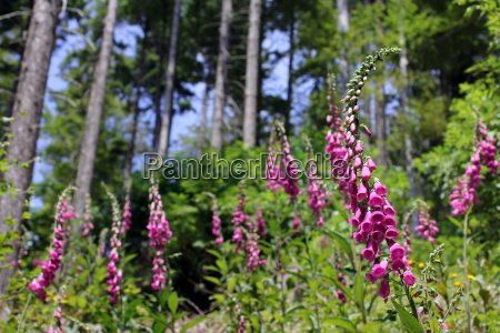 foxglove foxgloves in the forest