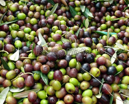 oliven erntefrisch