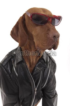hund in der lederjacke mit sonnenbrille