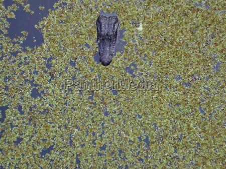 animal animals crocodile amphibians reptiles crocodiles