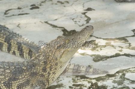 krokodilfarm vietnam tierzucht aligator krokodil krokodile