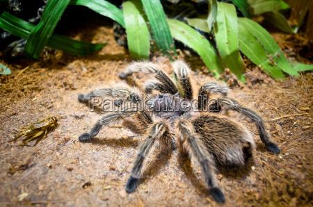 tarantula grosse spinne