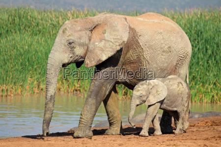 afrikanischer elefant mit kalb