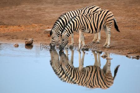 plains zebras trinkwasser