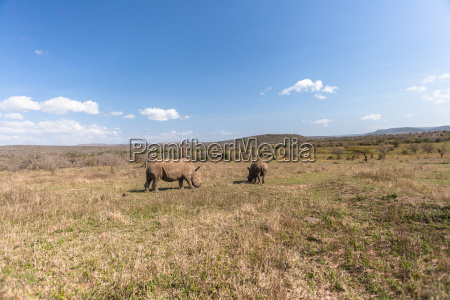 wildlife rhinos animals landscape