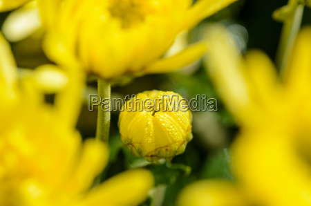 blume blumen pflanze knospen tau chrysantheme