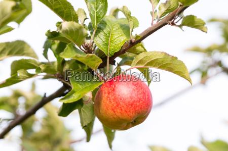 baum reif sonnenlicht apfelbaum frucht obst