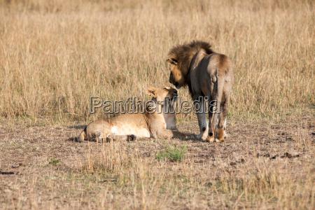 loewe raubtier safari afrika natur katze