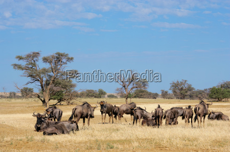 saeugetier afrika wildlife afrikanerin afrikaner afrikanisch