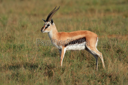 saeugetier afrika kenia antilope gazelle natur