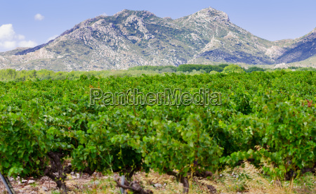 vineyard, in, provence - 12608994