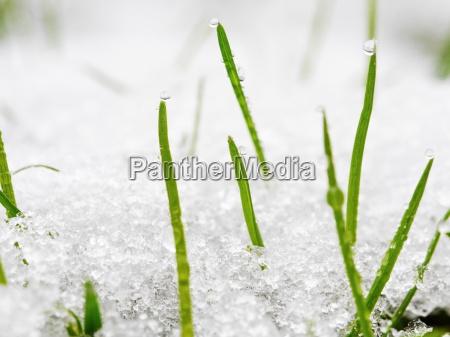 gras waechst aus schnee fruehling