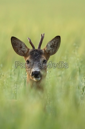 buck deer in a clearing a