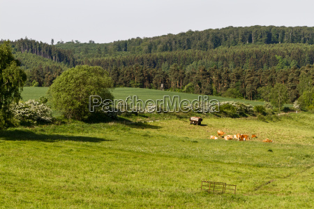 pasture with cow herd in the