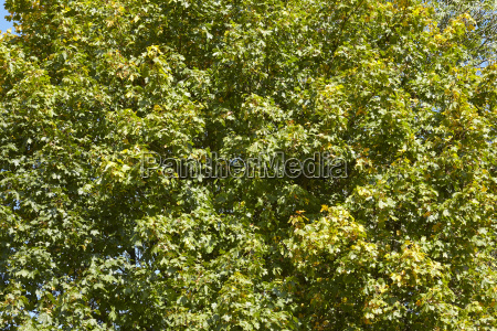 broadleaf forest tree leaves at