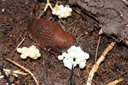 a snail laying eggs
