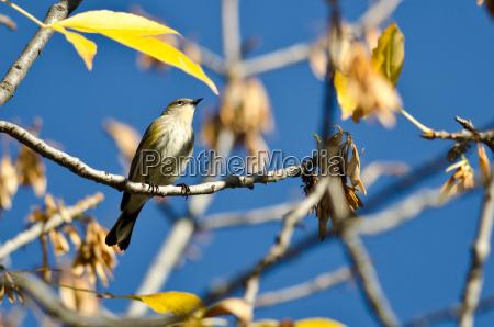 gelb rumped warbler thronched in einem