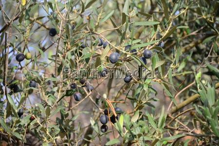 oliven am baum spanien