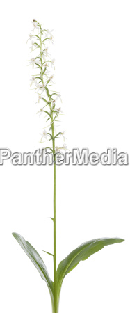 platan bifolia