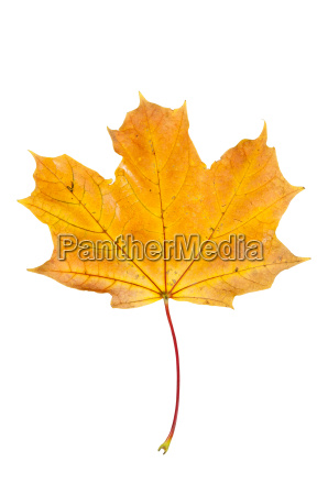 yellow autumn maple leaf isolated on