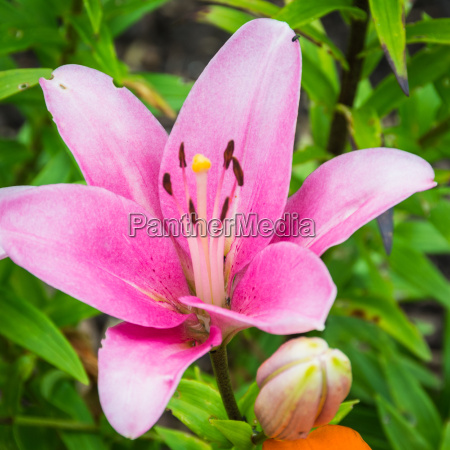 flower lily pink