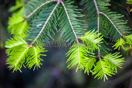koniferenzweigen mit jungen licht gruene triebe