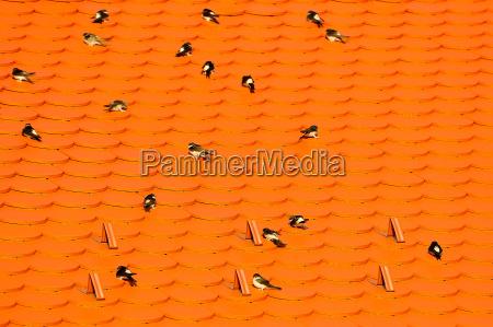 schwalben auf dem dach