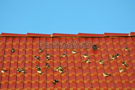 schwalben rasten auf einem dach