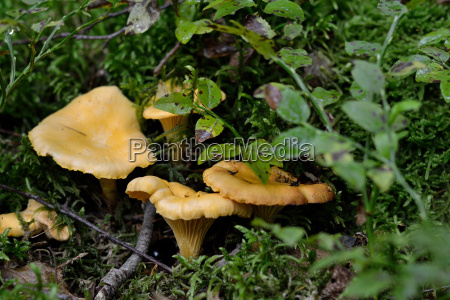 chanterelles in the forest