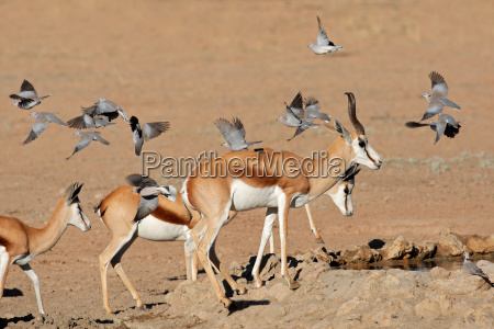 springbok and doves