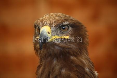 magnificent goldenen adler raubvogel greifvogel